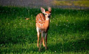 Rüyada geyik görmek: Rüya Tabirleri Yorumları