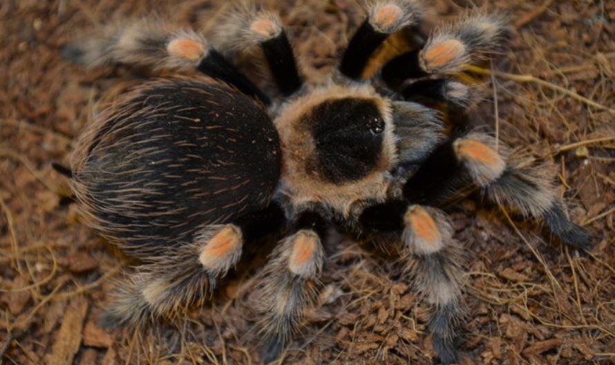 Rüyada tarantula görmek: Rüya Tabirleri Yorumları