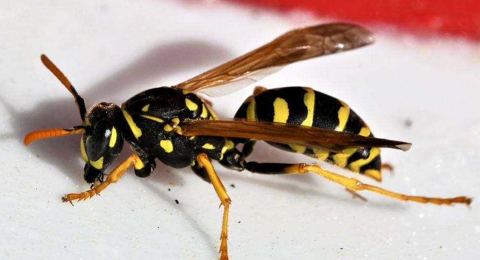 Rüyada yaban arısı görmek: Rüya Tabirleri Yorumları